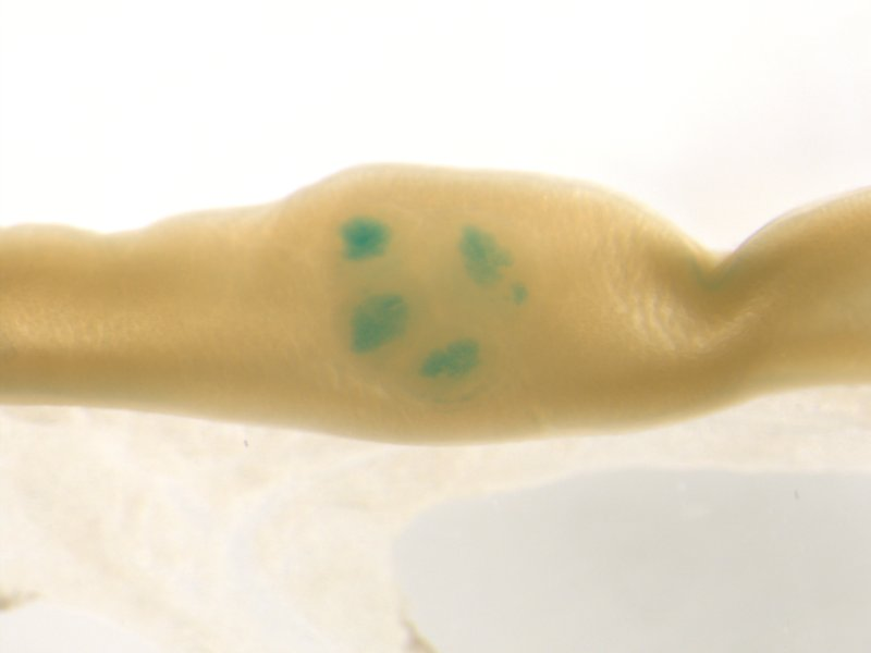 Peyer's patch (Male / Heterozygous)
