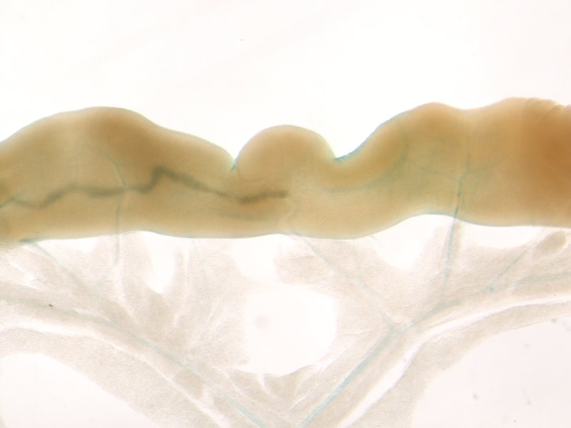 Small intestine (Male / Heterozygous)