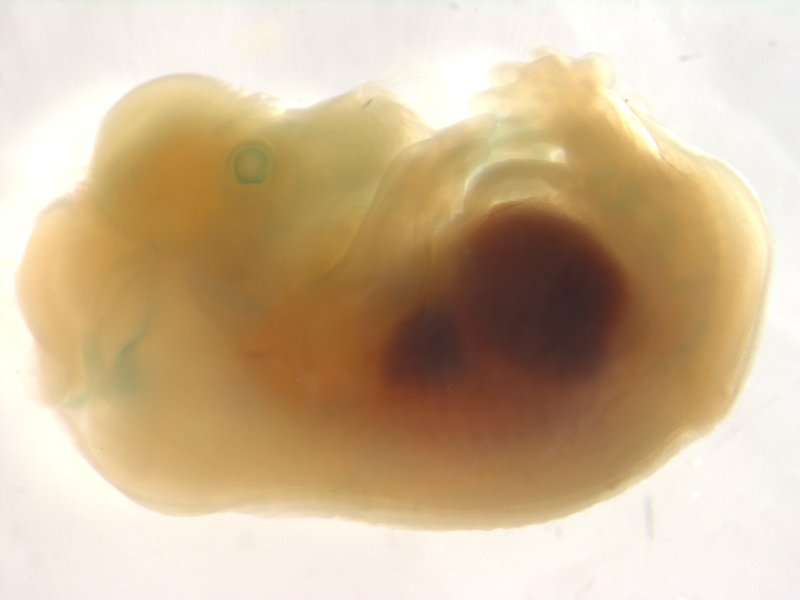 Embryo ED14.5 (Unsexed / Heterozygous)