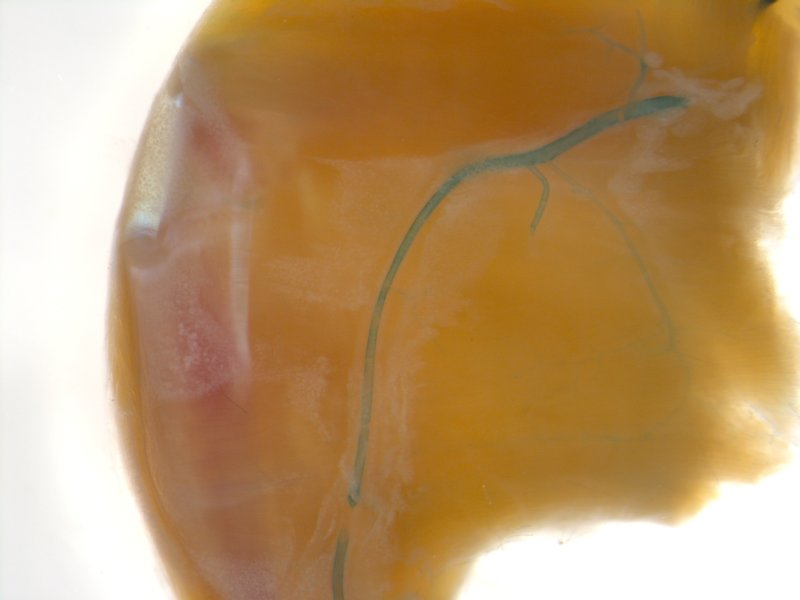 Hind limb (Female / Heterozygous)